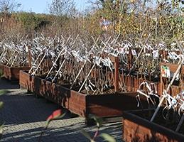 Ovocné dřeviny v prodeji - Obrázek