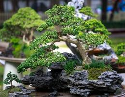 Přitažlivost bonsají - Obrázek