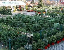 Vánoční stromky - Obrázek